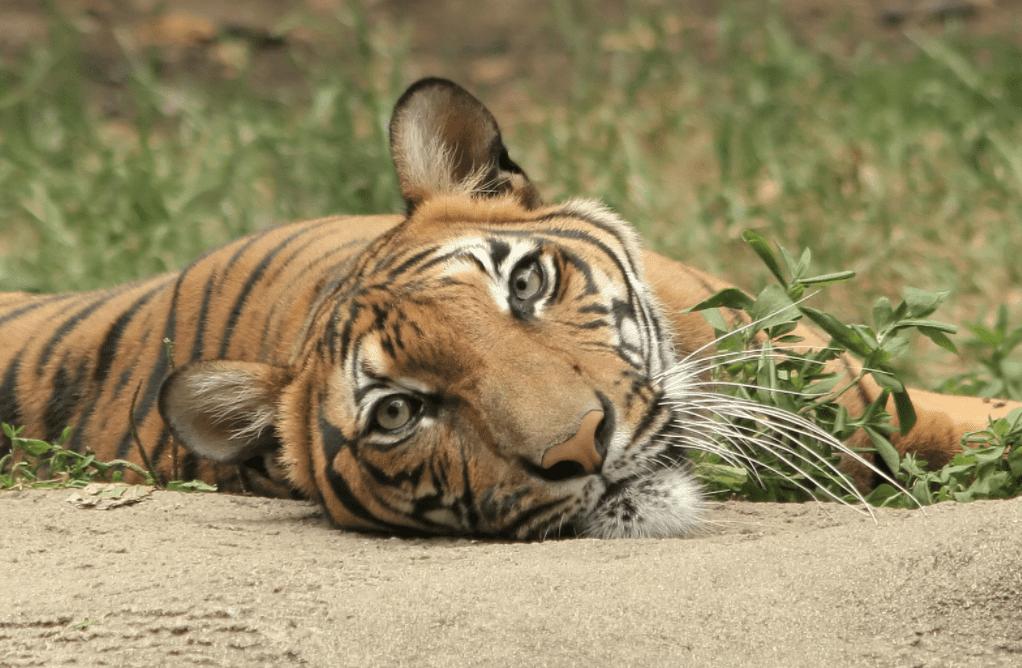 Jungle Stripes Ultima lansare a Betsoft